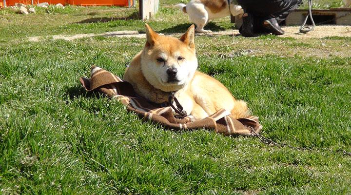 ひなたぼっこする犬