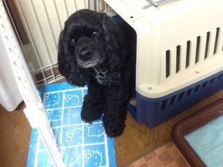 サークルの中に置いたクレートから顔を出す黒い犬