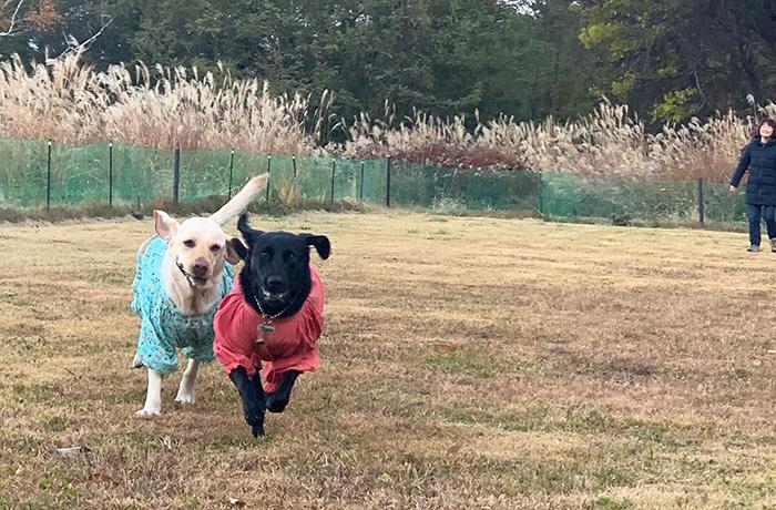 広場を駆け回るブラックラブとイエローラブの盲導犬