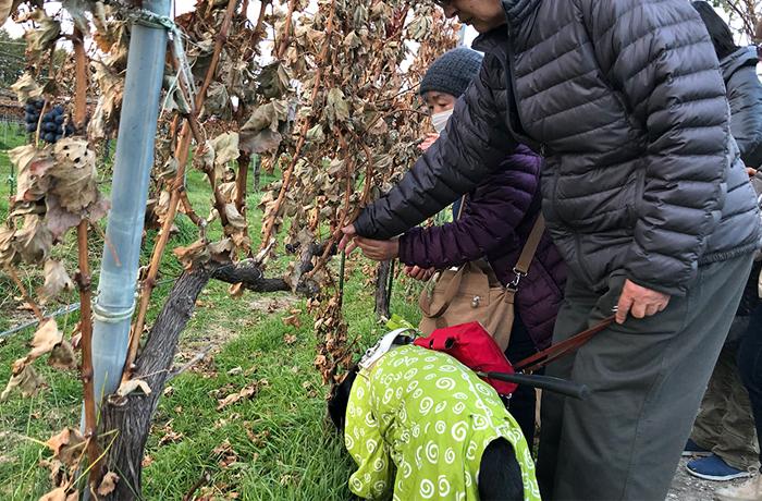 ぶどうの木を触る盲導犬ユーザー