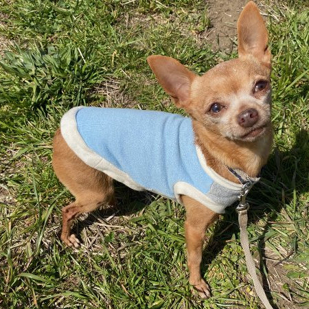 季節の変わり目に薄い服を着ている犬の画像