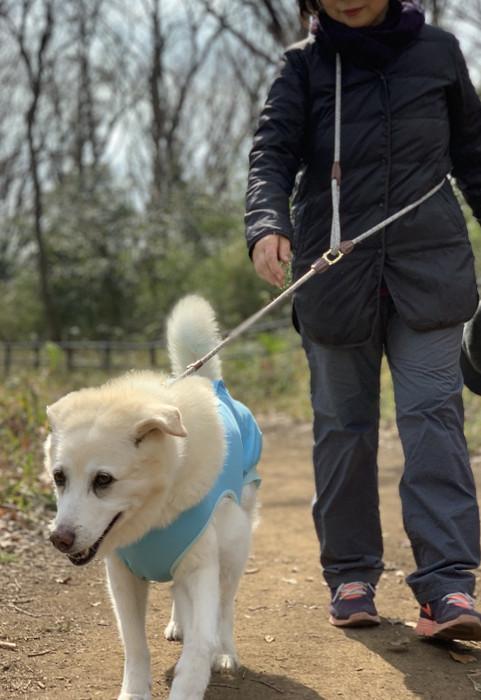 冬のお散歩をする中型犬