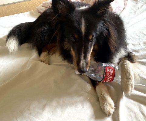 ペットボトルで遊ぶ犬の写真