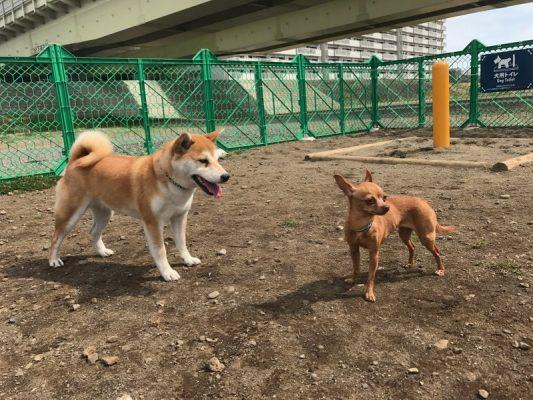 ドッグランで挨拶をする柴犬と超小型犬の写真