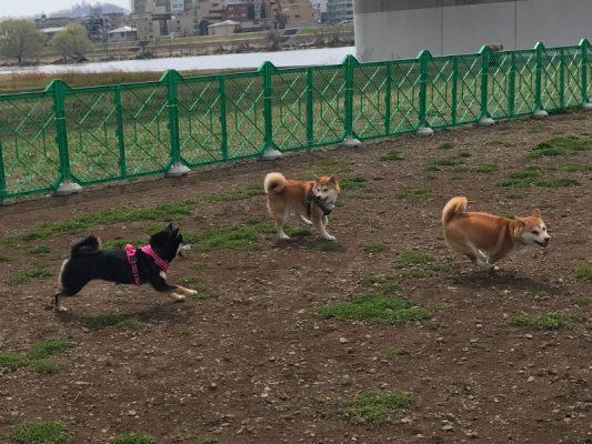 柴犬たちがドッグランで走り回る写真