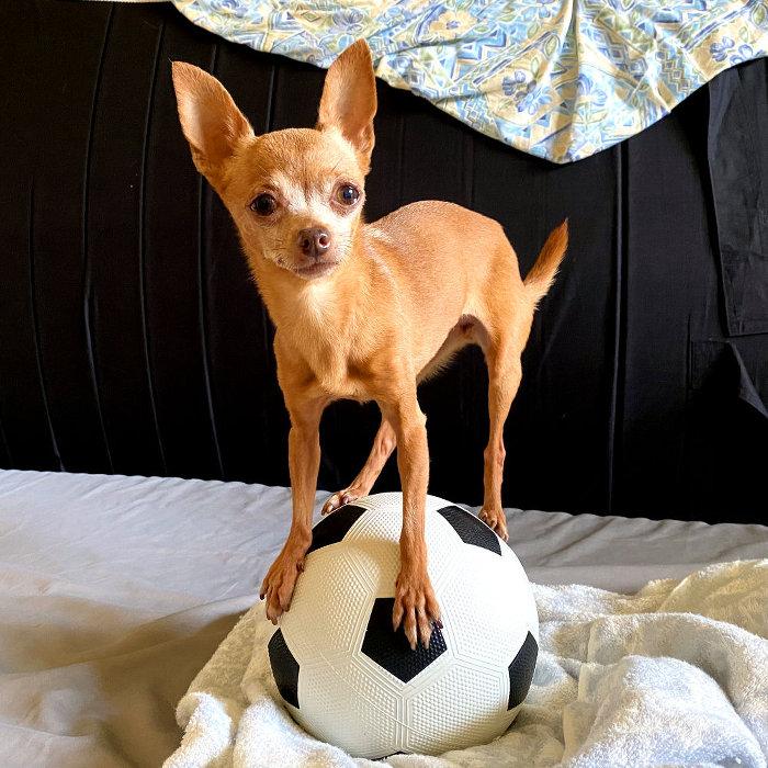 サッカーボールの上に乗る小型犬の画像