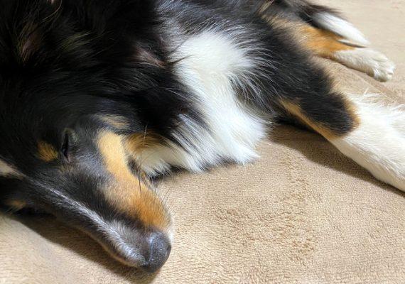 寝ているシェルティの画像