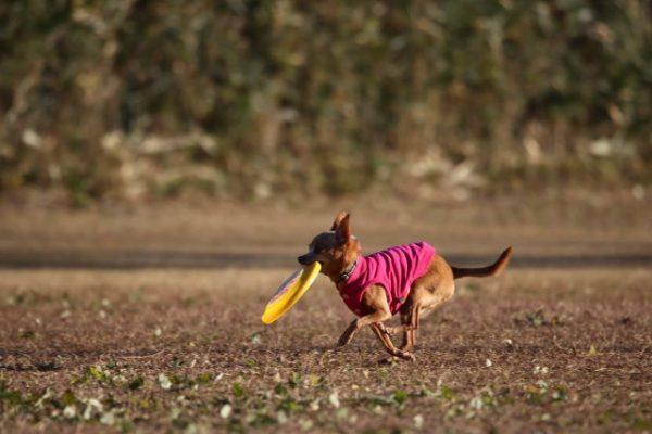 フリスビーをする小型犬の画像
