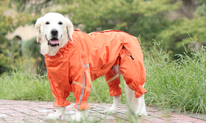 白いゴールデンレトリーバーが、オレンジのレインコートを着ている。