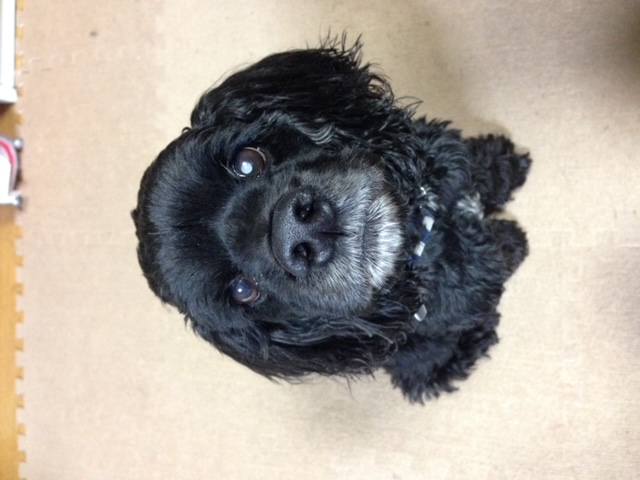 Image of Joint Mat Floor and American Cocker Spaniel Ron
