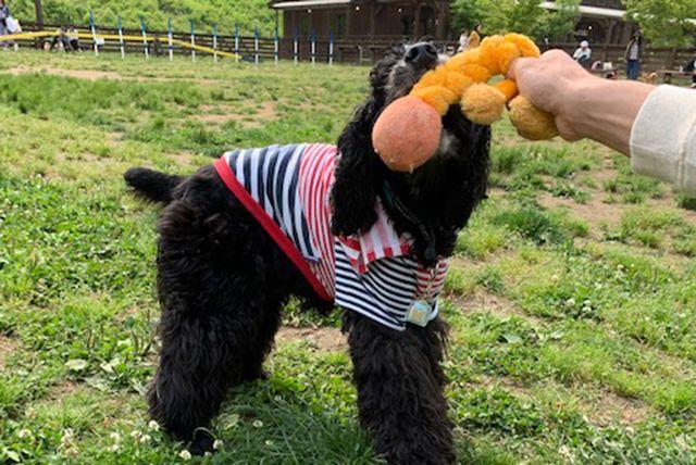ロープ遊びをしている犬の画像